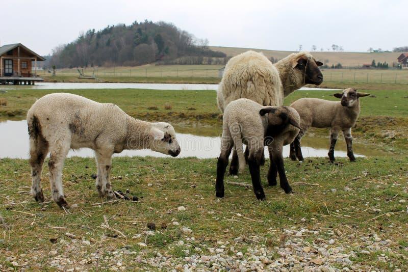 Sheep near the pond royalty free stock photo
