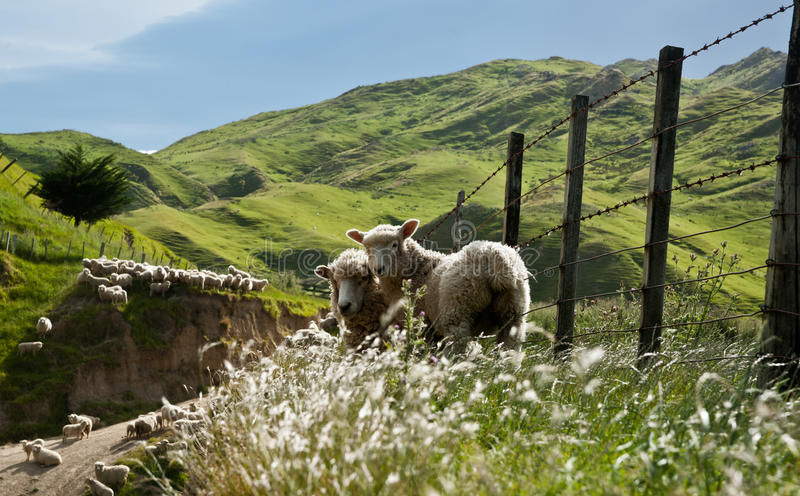 Sheep in New Zealand. stock image