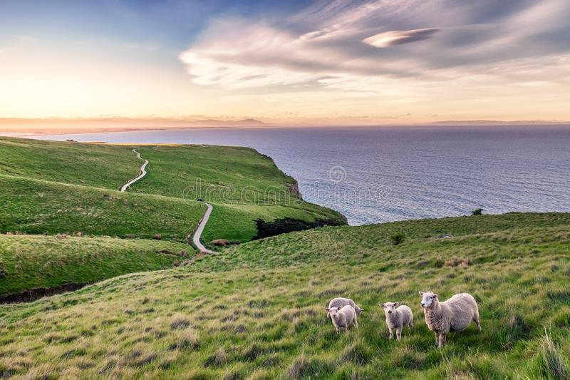 Sheep in New Zealand Landscape stock photos