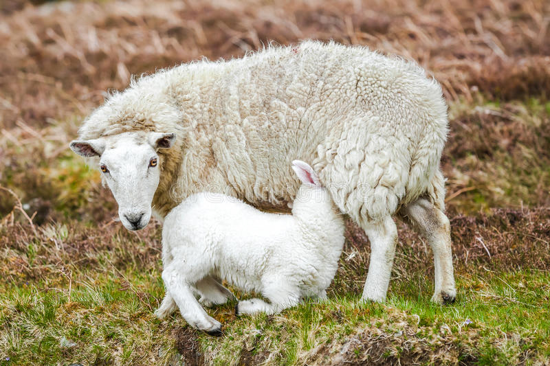 Sheep nursing lamb. Mother sheep nursing lamb in farm field stock image