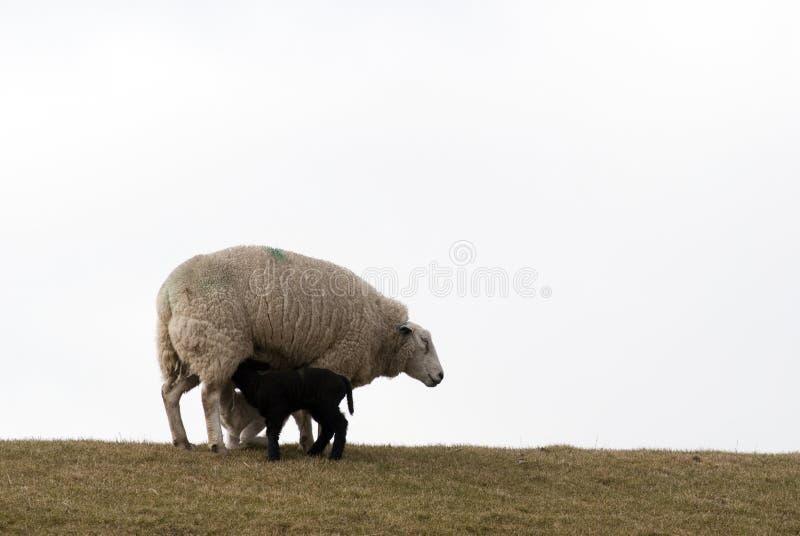 Sheep nursing lambs stock photography