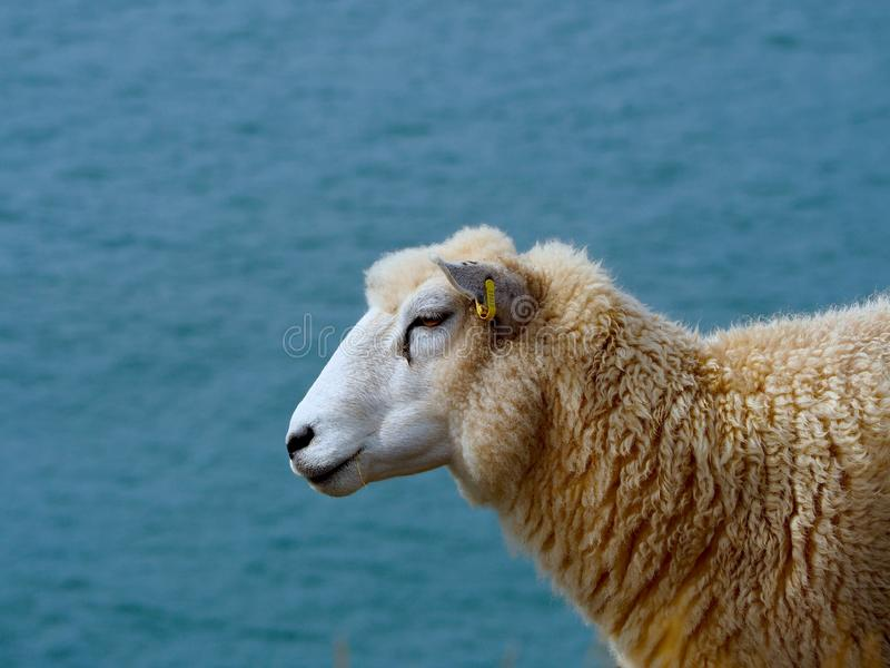 Sheep Overlooking the Bristol Channel stock image