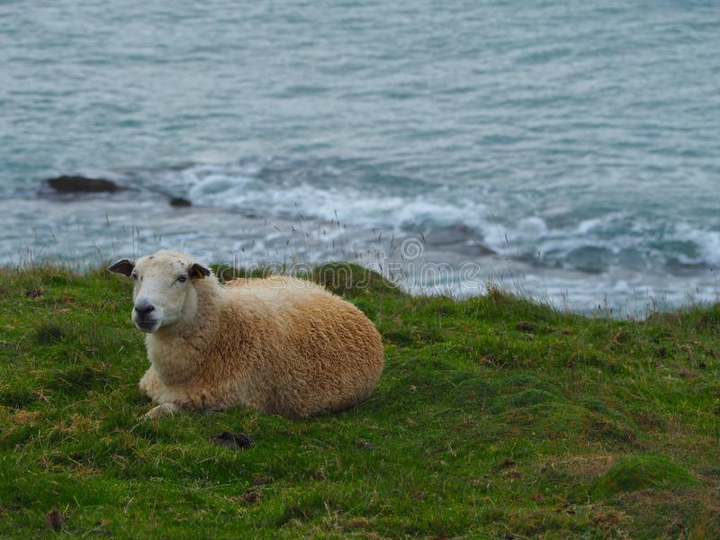 Sheep Overlooking the Bristol Channel stock photography