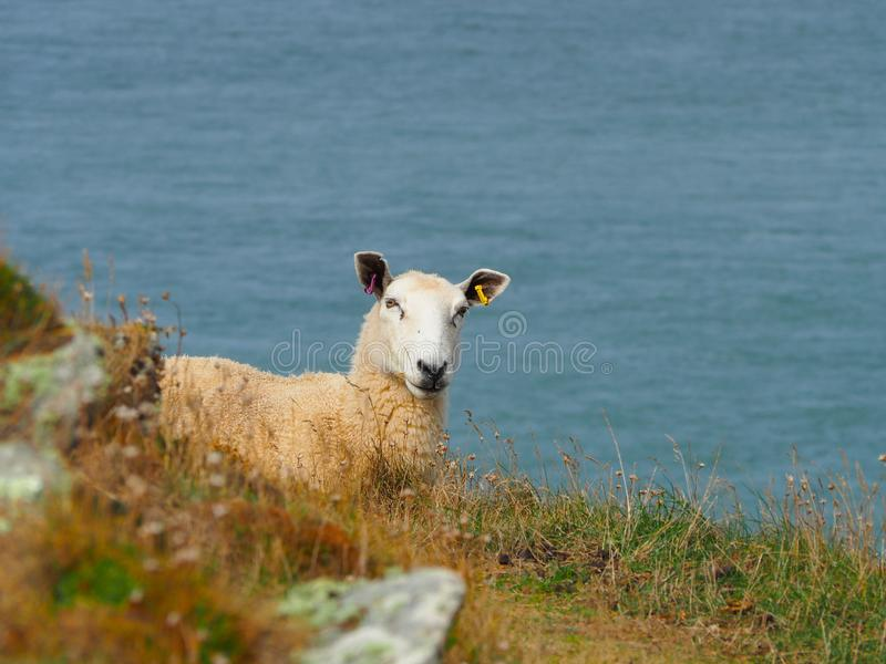 Sheep Overlooking the Bristol Channel stock photos