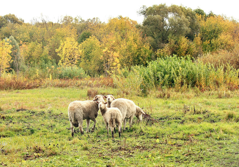 Download Sheep in the pasture stock photo. Image of three, young - 26812266