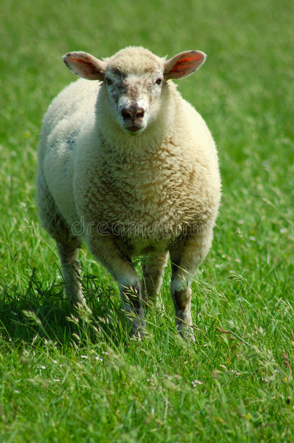 Sheep On A Pasture Royalty Free Stock Image