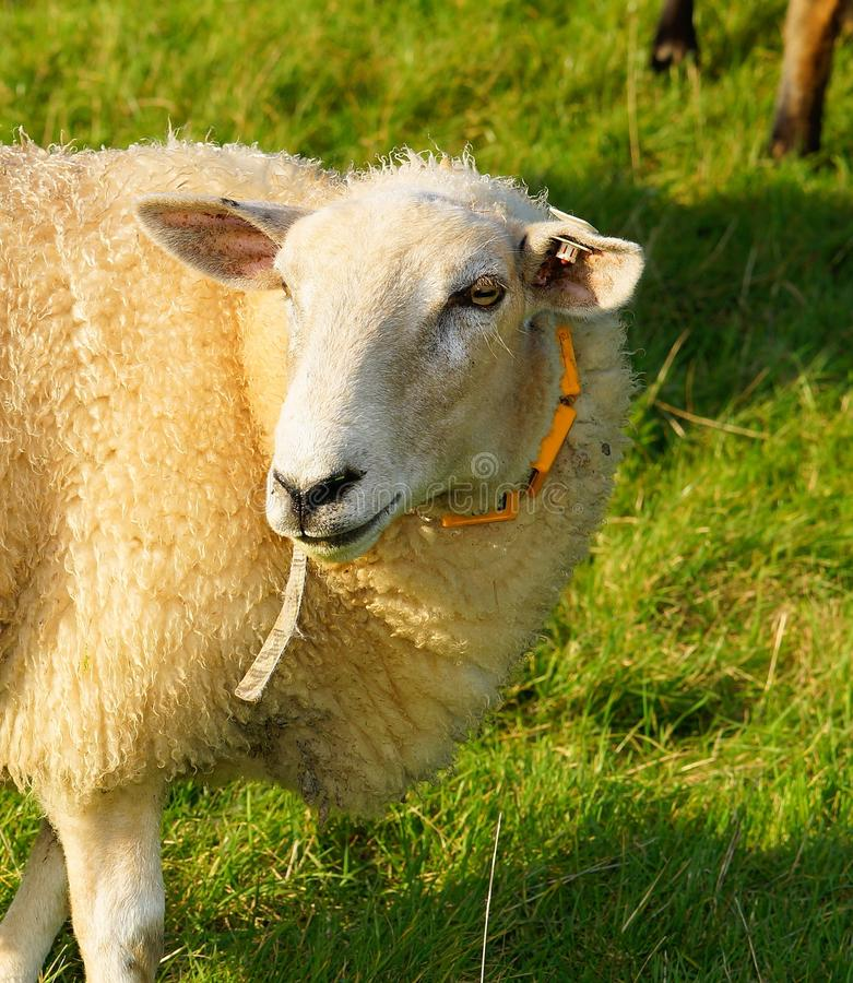 Sheep, Pasture, Grass, Cow Goat Family stock photos