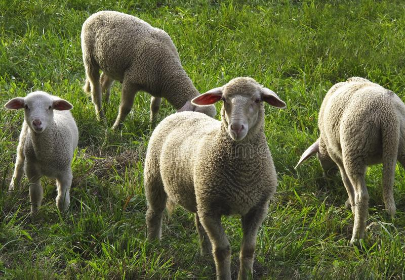 Sheep, Pasture, Grazing, Grass royalty free stock images