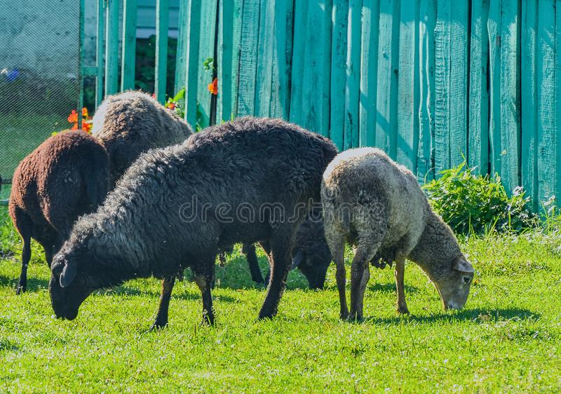 Sheep in a pasture near the lake royalty free stock image