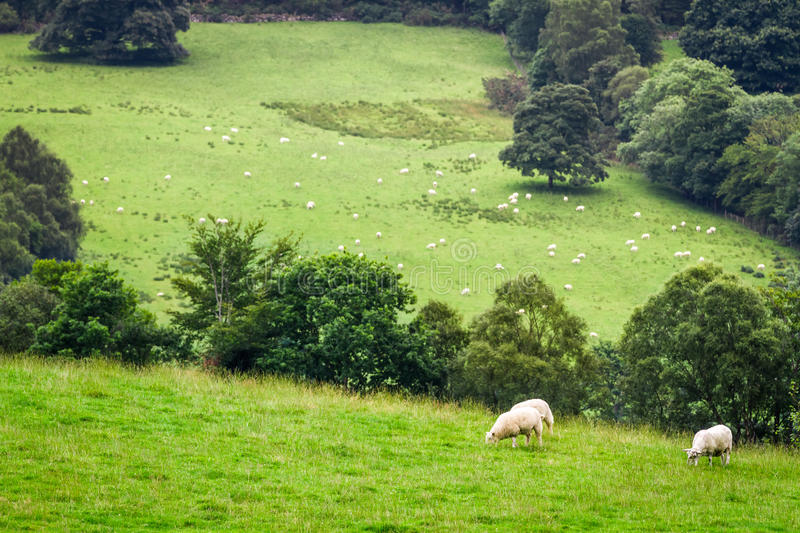 Sheep on pasture in Scotland royalty free stock photography