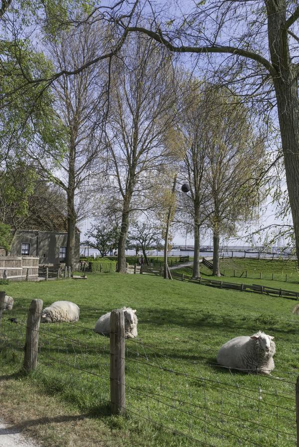 Sheep in the pasture in springtime at the Zuiderzee Museum stock images