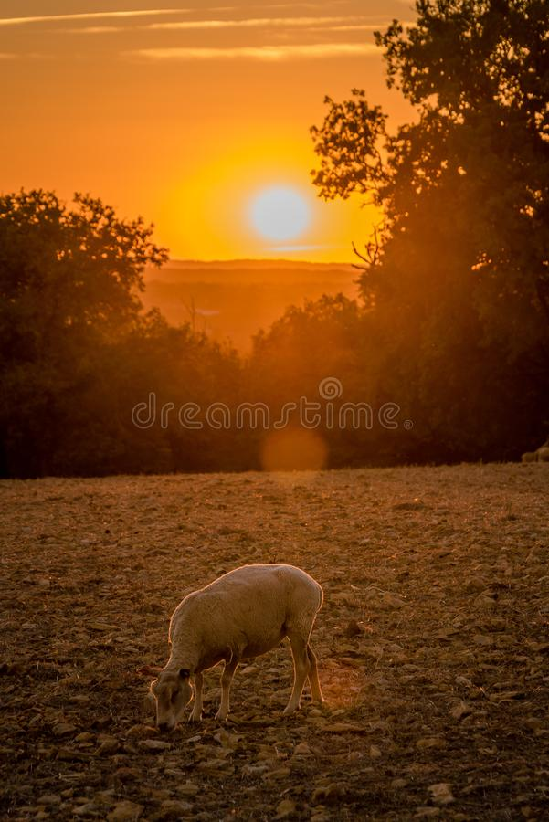 Sheep peacefully eating in the sunset in Dordogne valley, France stock image