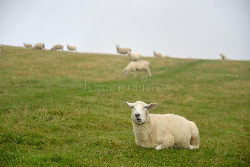 Sheep in mist on Countisbury, Exmoor, North Devon. Sheep peering through mist on Countisbury above the Bristol Channel in Exmoor, North Devon royalty free stock photos
