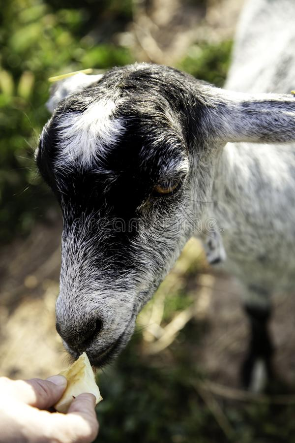 Sheep in pen. Sheep in barnyard farm animals, nature and captivity, explotacion, pen, lamb, livestock, wool, white, rural, pens, flock, agriculture, domestic stock images