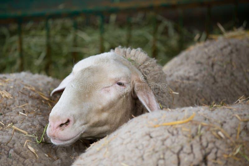 Sheep in pen stock photos