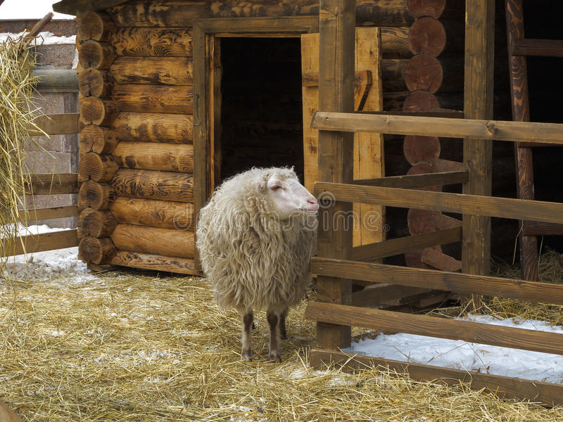 Sheep in a pen near barn. stock images