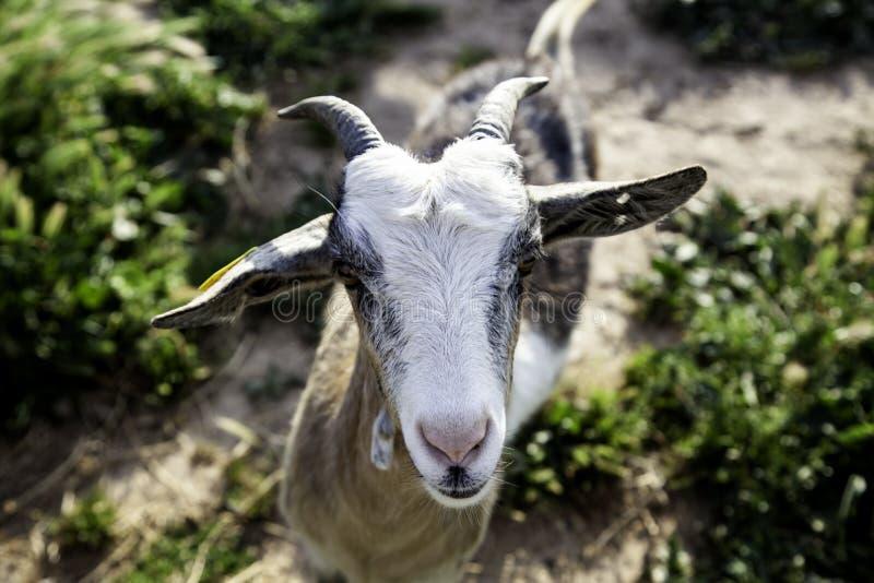 Sheep in pen. Sheep in barnyard farm animals, nature and captivity, explotacion, pen, lamb, livestock, wool, white, rural, pens, flock, agriculture, domestic stock photography