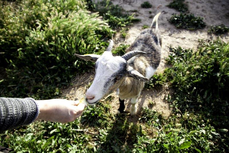 Sheep in pen. Sheep in barnyard farm animals, nature and captivity, explotacion, pen, lamb, livestock, wool, white, rural, pens, flock, agriculture, domestic stock image