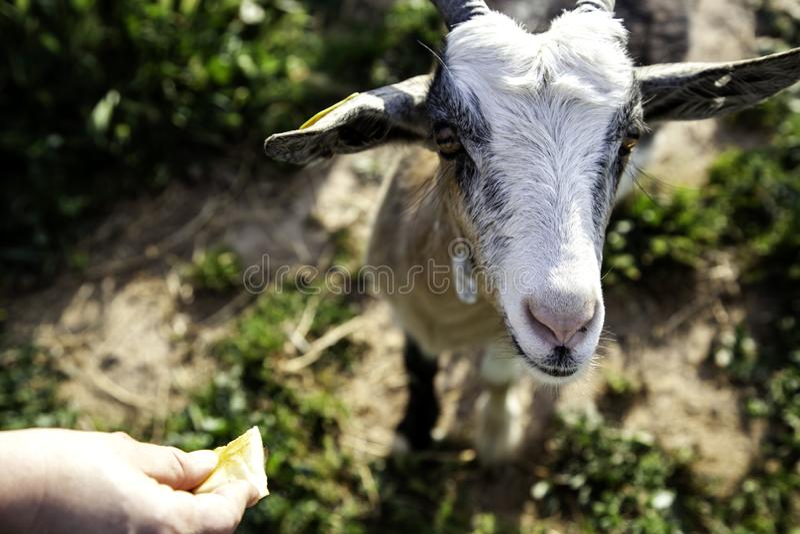 Sheep in pen. Sheep in barnyard farm animals, nature and captivity, explotacion, pen, lamb, livestock, wool, white, rural, pens, flock, agriculture, domestic royalty free stock photo