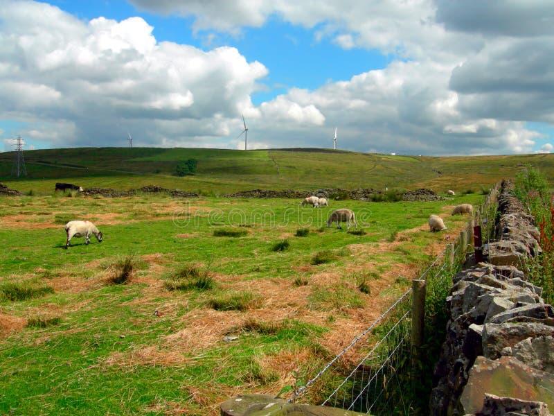 Sheep in Pick up Bank. Darwen, England UK stock photography