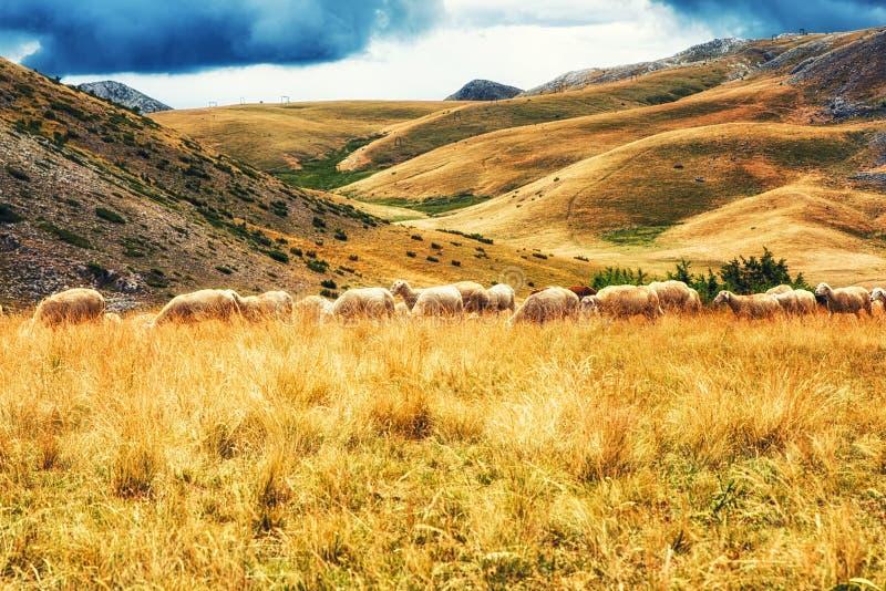 Sheep on the plains of Mavrovo national park, Macedonia. Flock of Sheep on the plains of Mavrovo national park, Macedonia stock photo