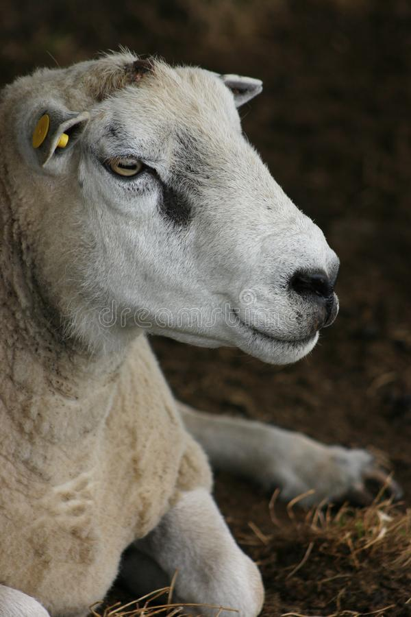 Download Sheep portrait stock photo. Image of sheep, nose, mouth - 1180718