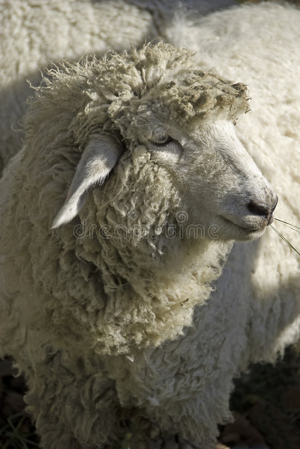 Download Sheep Portrait Stock Photography - Image: 3438902