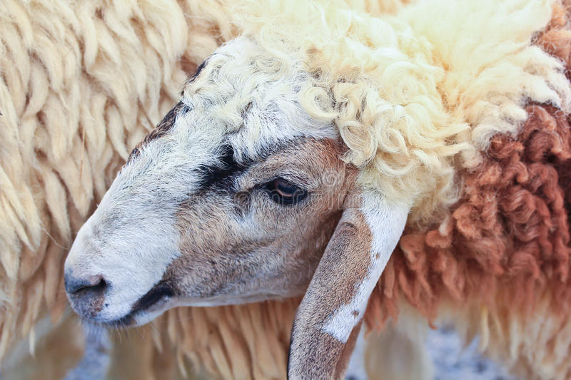 Download Sheep portrait stock image. Image of farmland, country - 38266163