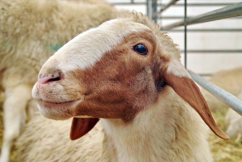 Portrait of Awassi sheep. Portrait of cute Awassi sheep stock photography