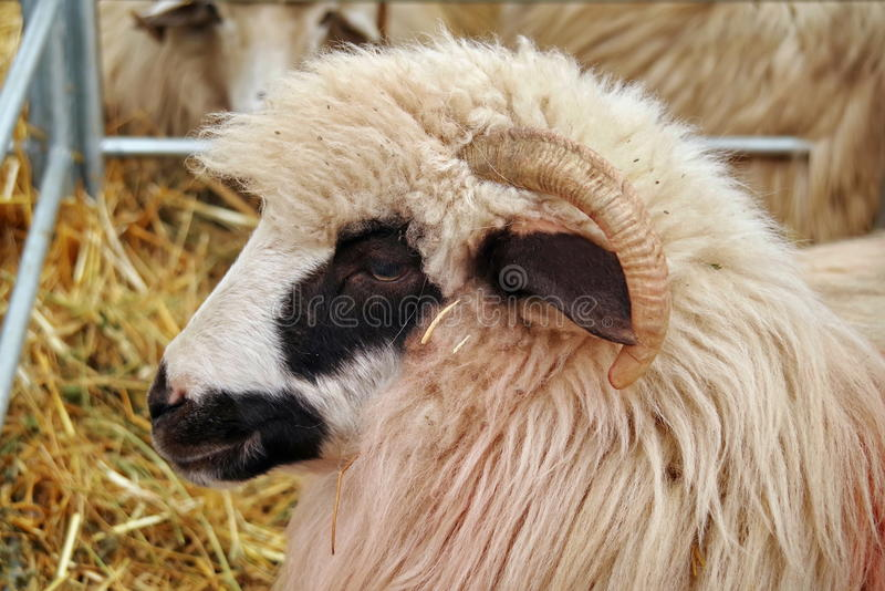 Portrait of Turcana Sheep. Portrait of cute White Turcana sheep stock images