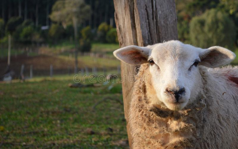 Sheep posing royalty free stock photo