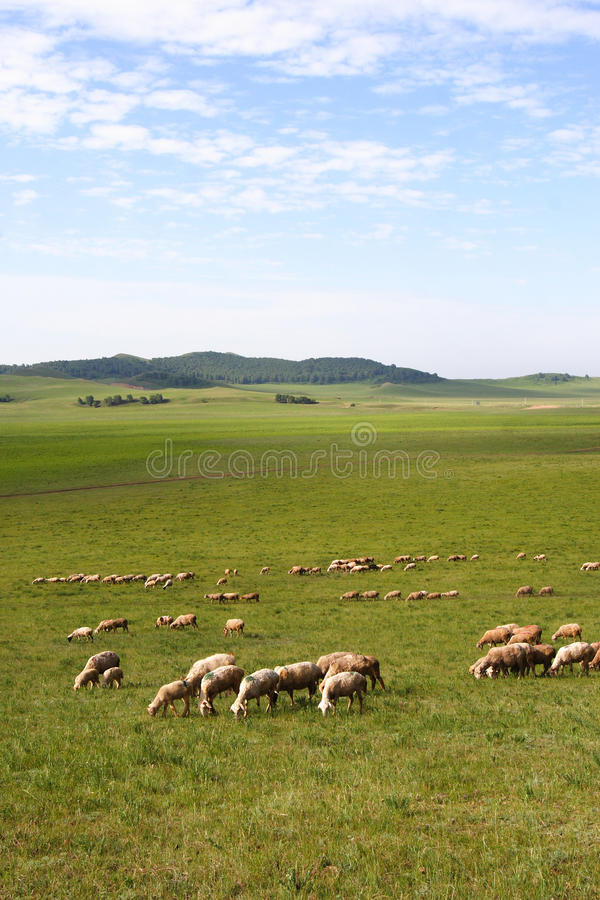 Download Sheep in prairie stock image. Image of china, asia, farmland - 24200125