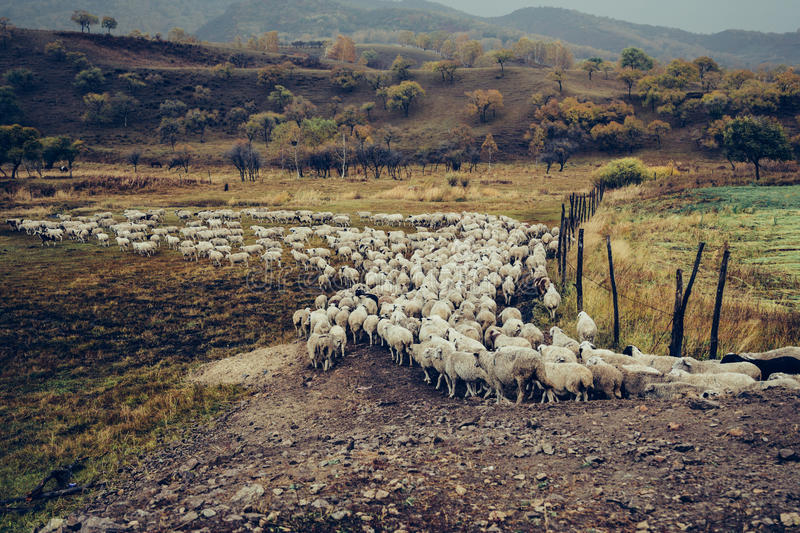 The sheep neat queue royalty free stock photography