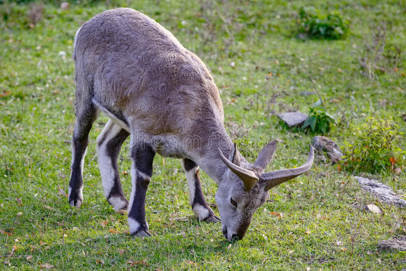 Sheep (Pseudois nayaur) is eating grass on the meadow.  stock images