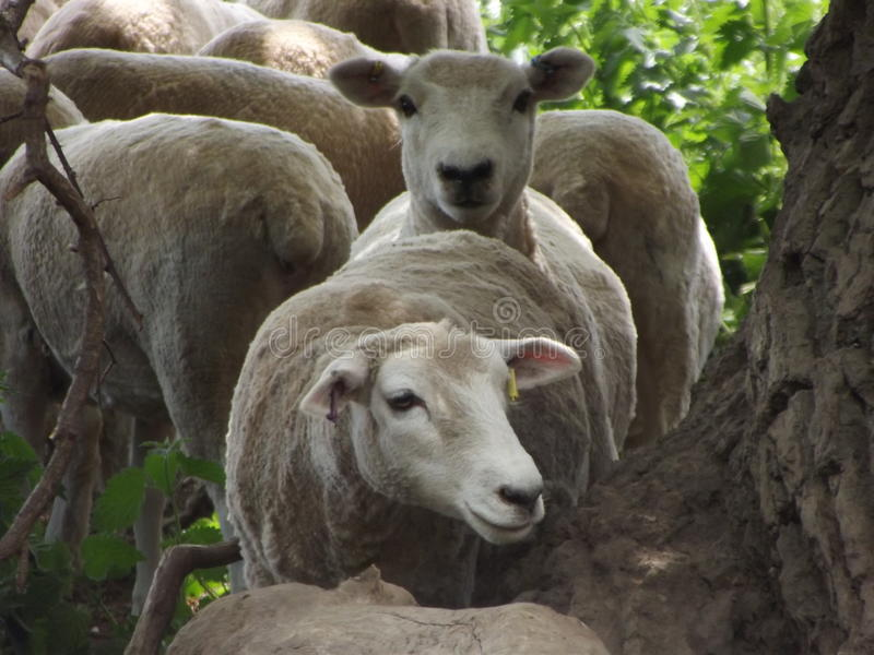 Sheep In A Queue stock photo