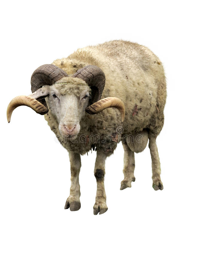 Sheep ram with horns isolated over white royalty free stock images