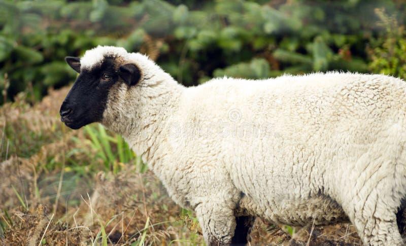 Sheep Ranch Livestock Farm Animal Grazing Domestic Mammal. Domestic sheep grazing the day away on an Oregon ranch stock image