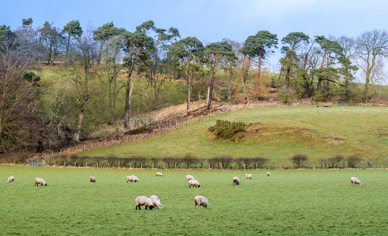 Sheep in a Regional Park. A lovely landscape from a Regional Park stock photography