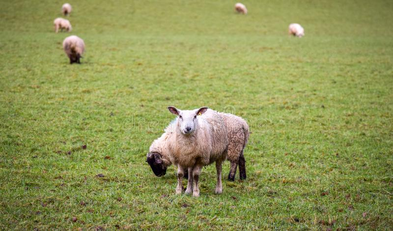 Sheep in a Regional Park. A lovely landscape from a Regional Park royalty free stock image