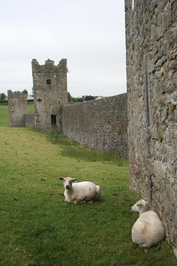 Sheep relax at Kells Priory stock images