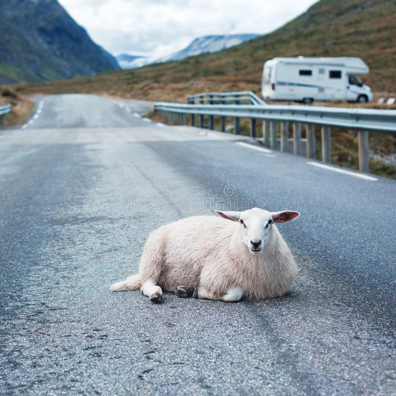 Sheep resting on road. In Norway royalty free stock photography