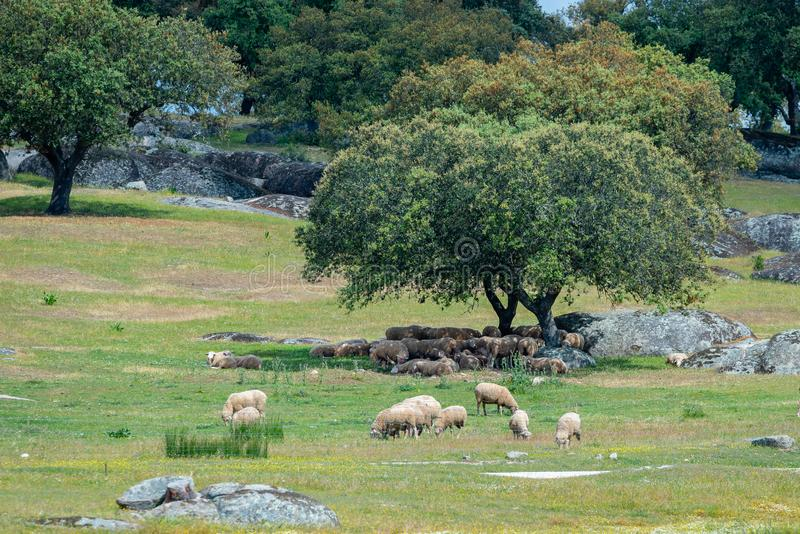 Sheep resting in the shade of a tree stock image