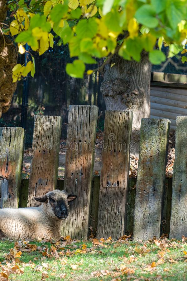 Sheep resting in a shadow royalty free stock images