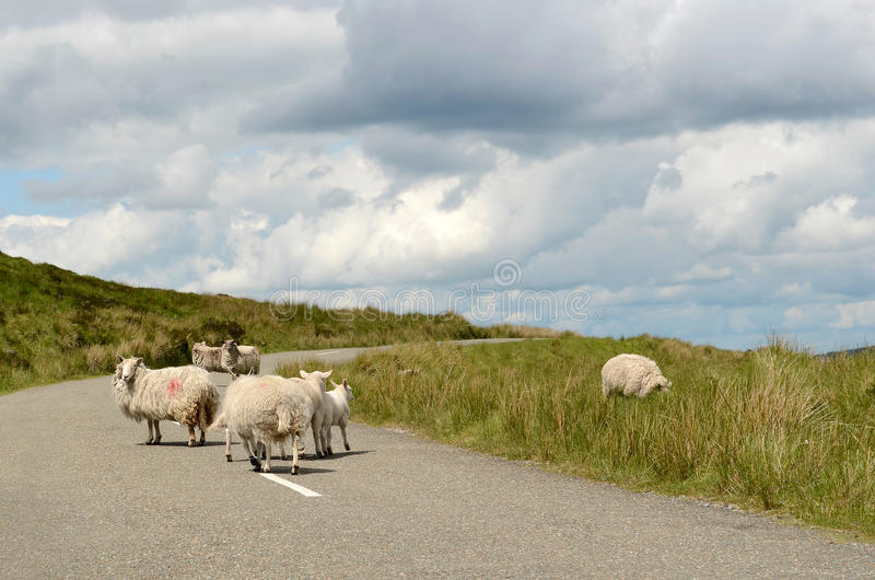 Sheep on the road in Ireland royalty free stock photo