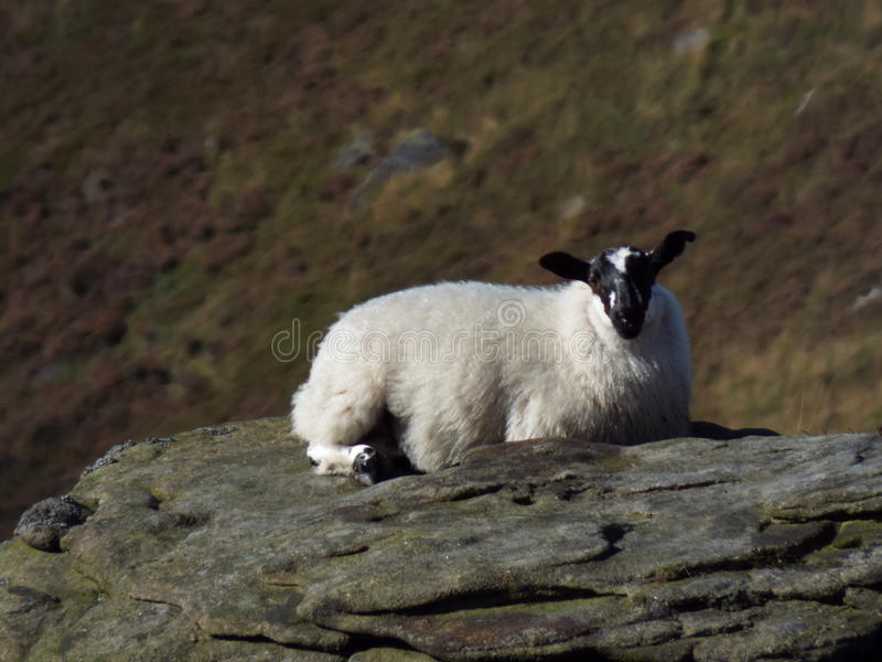 Sheep on a rock stock images