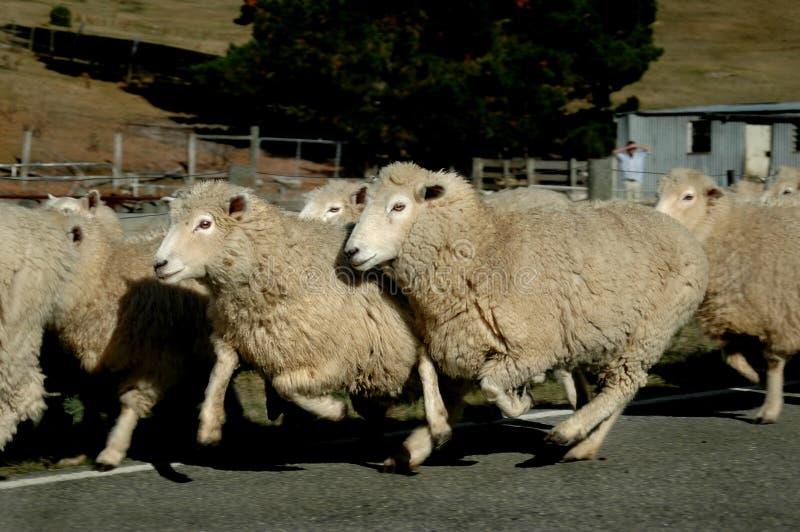 Sheep On the Run stock photo
