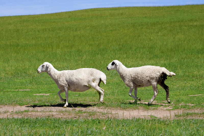 Sheep running stock images