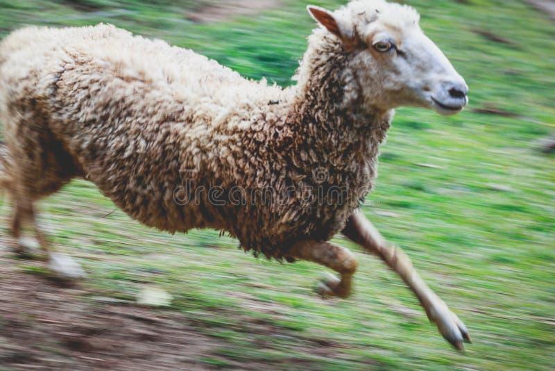 Sheep running alone royalty free stock photo