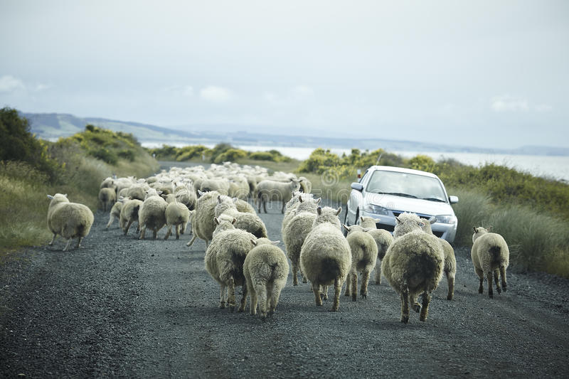 Sheep running on the road stock images