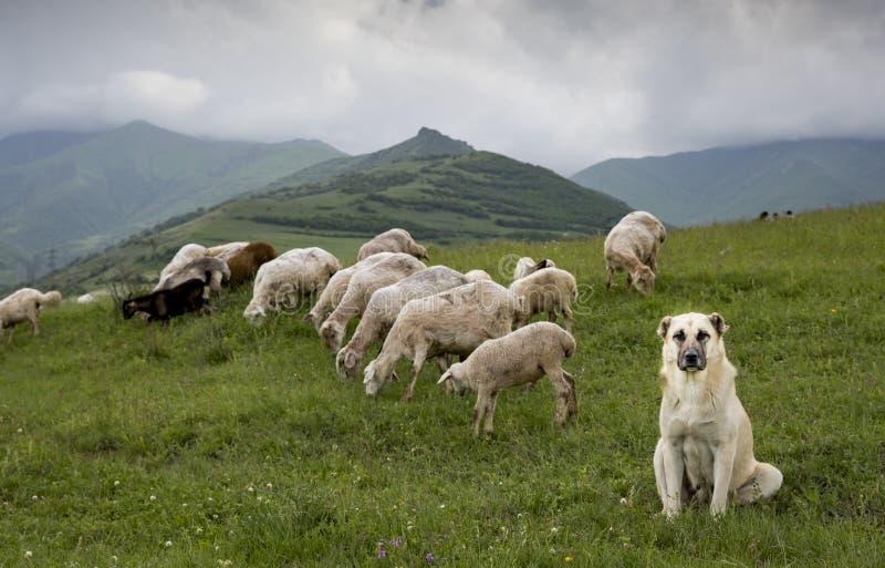 Sheep in rural Armenia stock images